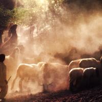 Ziegenherde in Afghanistan